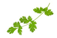 Coriander Stock Photography