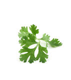 Coriander sprig isolated on white Royalty Free Stock Photos