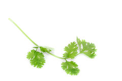 Coriander sprig Royalty Free Stock Photo