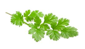 Coriander. Sprig  on white Royalty Free Stock Image