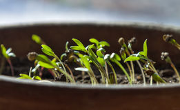 Coriander sprouts in a pot. Green coriander sprouts planted in a pot royalty free stock photography