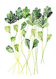 Coriander watercolor illustration painted with brush Stock Photo