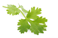 Coriander on white Royalty Free Stock Image