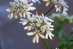 Coriandolo (Coriandrum sativum) fotografia stock libera da diritti