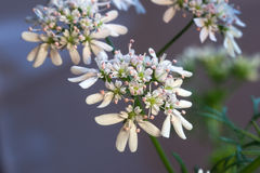 Coriandre (Coriandrum sativum) Photographie stock libre de droits