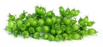 Coriandro verde Fotografía de archivo libre de regalías