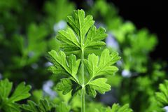 Coriandrum  celery Royalty Free Stock Image