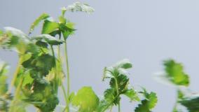 Coriandrum som roterar på en blå bakgrund lager videofilmer