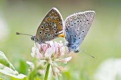 Coridon del amor/de Lysandra de la mariposa Foto de archivo libre de regalías