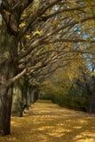 Coridoor dell'albero del ginkgo Fotografia Stock
