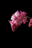 Corinto de florescência Foto de Stock Royalty Free