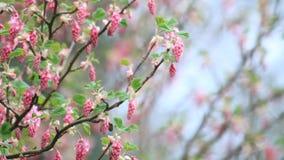 Corinto de florescência, mola, Ribes Sanguineum video estoque