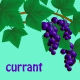 Corinto preto, suculento, doce em um ramo para seu projeto Vetor Fotografia de Stock Royalty Free