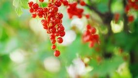 Corinto vermelho maduro em um ramo filme