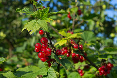 Corinto vermelho no ramo do arbusto Imagens de Stock Royalty Free