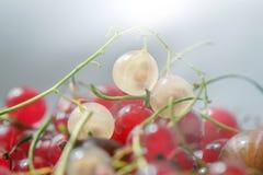 Corintos brancos e vermelhos maduros Imagens de Stock