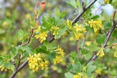 Corintos de florescência amarelos em um ramo natural foto de stock