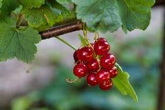 Corintos maduros vermelhos na natureza Fotos de Stock