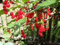 Corintos suculentos vermelhos no jardim Imagem de Stock