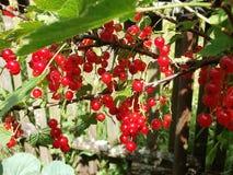 Corintos suculentos vermelhos no jardim Fotos de Stock Royalty Free