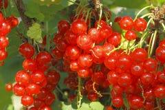 Corintos vermelhos Foto de Stock