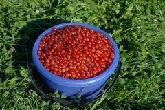 Corintos vermelhos da colheita Fotos de Stock
