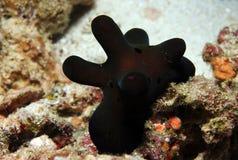 Coriocella Hibyae Stock Image