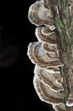 Coriolus - hongo versicolor Imagen de archivo libre de regalías
