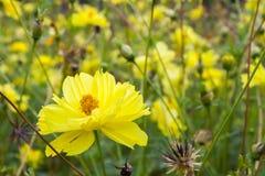 Coriopsislanceolata, gele bloem Stock Afbeeldingen