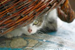 Corious cat hidden beneath a wicker basket with only her eyes seening. royalty free stock images