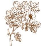 coripubifera Rosa Στοκ Εικόνες
