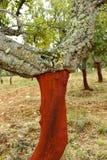 Cork сбор, красный дуб пробочки без пробочки, Андалусии, Испании Стоковые Изображения