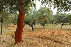 Cork сбор, красный дуб пробочки без пробочки, Андалусии, Испании Стоковая Фотография