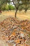 Cork сбор, раскупоривая дуб пробочки, Андалусия, Испания Стоковое Изображение RF