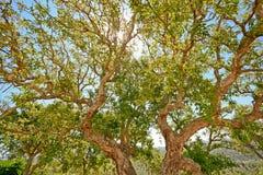 Cork дуб (suber Quercus) в солнце вечера, Alentejo Португалии Стоковое Фото