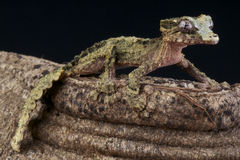 Cork-bark gecko / Uroplatus pietschmanni Stock Photo
