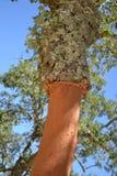 Cork boomboomstam Stock Afbeeldingen