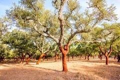 Cork eiken bomen in Portugal stock afbeeldingen