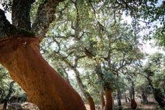 Cork eiken bomen in Sardinige royalty-vrije stock afbeeldingen