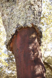 Cork eiken de oogstdetail van de boomschors in Spanje Stock Afbeeldingen