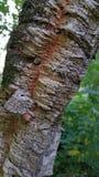 Cork eiken schors royalty-vrije stock foto