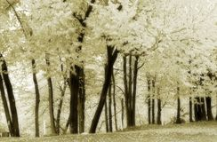 Cork Elm Grove 6--soft, black and white. Black and white photo of some cork elms Stock Photography