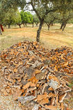 Cork harvest, uncorking the cork oak tree, Andalusia, Spain Royalty Free Stock Image
