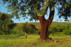 Cork oak 01 Royalty Free Stock Photography