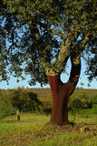 Cork oak 02. Cork trees, typical for Portugal, southern europe Stock Images