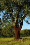 Cork oak 06. Cork oak, cork tree, typical for Portugal Stock Image
