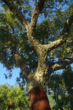 Cork oak 09 Royalty Free Stock Images