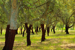 Cork oak Stock Photography