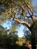 Cork oak. Sobreiro common tree in the mediterranean of which of extracts the cork oak Royalty Free Stock Photos