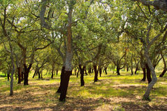 Cork oak Royalty Free Stock Image